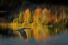 Volo (Zz manipulation) Tags: art ambrosioni zzmanipulation alberi natura lago colori riflessi acqua volo uccello