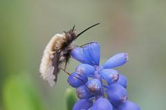 bombylus major (alfred.reinartz) Tags: insect insekt bombylus major schweber macro marvels specinsect