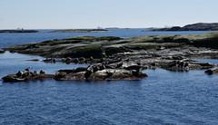 seal colony (helena.e) Tags: helenae husbil rv motorhome älsa påsk sälkoloni sealcolony säl seal water vatten hönöbåtturer