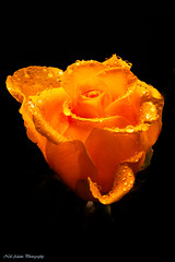 Yellow rose (Neil Adams Photography (Wirral)) Tags: yellow rose flower droplet droplets drops water waterdroplets