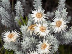 Helichrysum newii, Kilimanjaro NP, Tanzania (Amdelsur) Tags: tanzanie helichrysumnewii continentsetpays parcdukilimandjaro afrique africa kilimanjaronationalpark tz tza tanzania kilimandjaro