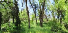 1 Lunch Stroll Soak (Robert Cowlishaw (Mertonian)) Tags: soaking mertonian robertcowlishaw ineffable awe wonder foroverwhelmingbeauty canon powershot sx70hs canonpowershotsx70hs uplifting beauty beautiful lunchstroll spring2019 huggingtrees wildgrass panoramic