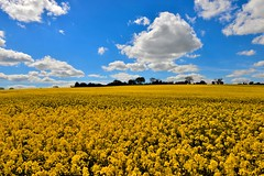 Field of yellow (kevindaly24) Tags: colorphotography colours ireland westcoastofireland westcork nikond800 nikondslr nikon2470f28 professional professionalphotography wildlife