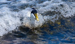 Eider-21 (ianrobertcole1971) Tags: farne islands sea water birds eider duck diving