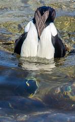 Eider-3 (ianrobertcole1971) Tags: farne islands sea water birds eider duck diving
