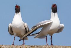 Black Headed Gull-8 (ianrobertcole1971) Tags: farne islands sea water birds black headed gull display mating