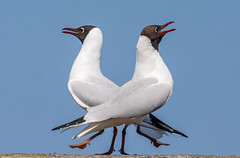Black Headed Gull-1-3 (ianrobertcole1971) Tags: farne islands sea water birds black headed gull display mating