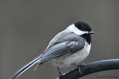 Black-capped Chikadee - Mésange à tête noire (Etienne Leblon) Tags: bird oiseau mésangeàtêtenoire blackcappedchickadee québec canada animal