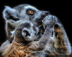 Helping Hand (JKmedia) Tags: lemur madagascar baby hands feeding boultonphotography 2019 chesterzoo animal eye orange