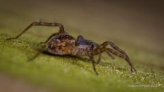 Wolf Spider (strjustin) Tags: wolfspider spider arachnid insect bug macro mpe