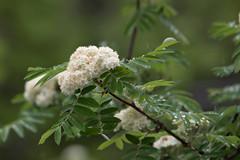 IMG_M2_1089 (Alexander Bysov) Tags: nature rowan sorbus mountainash spring foliage tree green white flowers garden рябина весна цветы зеленый белый