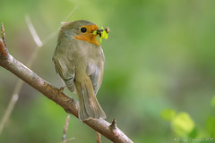 Le dur labeur! (DorianHunt) Tags: birds bokeh europeanrobin switzerland may 2019 nikond500 sigma 150600mm