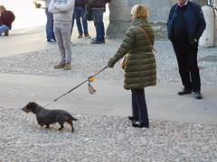 Beautiful wired haird dachshund in Bergamo (litlesam1) Tags: dogs italy2019 duepazziragazziamilano2019 march2019 bergamo
