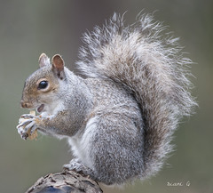 Backyard visitor (Diane G. Zooms---Mostly Off) Tags: squirrel easterngreysquirrel squirrelphotos wildlife dianegiurcophotography bestofsquirrels specanimal alittlebeauty coth coth5 fantasticnature