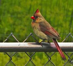 Female Cardinal-HBW (☼☼ Jo Zimny Photos☼☼) Tags: bokeh bokehwednesdays bokehwednesday2 femalecardinal backyard onthefence