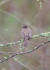 morning phoebe (S. J. Coates Images) Tags: brighton presquile presquileprovincialpark bird flycatcher pheobe