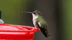 Wet Hummingbird (blazer8696) Tags: img6573 brookfield connecticut unitedstates 2019 apodiformes arccol archilochus archilochuscolubris bird colubris ct ecw hummingbird obtusehill rthu ruby rubythroated rubythroatedhummingbird t2019 tabledeck throated trochilidae usa