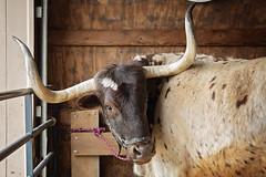 Tony the Texas Longhorn (Boered) Tags: draftanimalday billingsfarm woodstock vermont cattle tony texaslonghorn