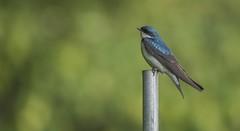 Tree Swallow on Pipe (Odonata457) Tags: tree sparrow tachycinetabicolor beltsvilleagriculturalreserachcenter princegeorgescounty maryland