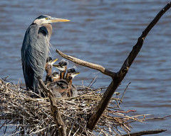 Great Blue Heron and young (M Corter) Tags: birds blueheron beatrice beatricenebraska heron nebraska nature nikond7000 200500 outdoors wildlife