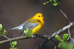 BenchmarkBird (jmishefske) Tags: wehr d850 wisconsin nikon warbler prothonotary nature bird park center whitnall milwaukee 2019 franklin may