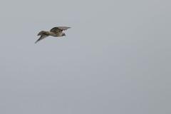 IMG_9807 (armadil) Tags: prairie ranchocorraldetierra bird birds flying hawk hawks raptor raptors rth redtailedhawk