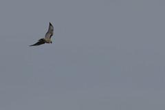 IMG_9811 (armadil) Tags: prairie ranchocorraldetierra bird birds flying hawk hawks raptor raptors rth redtailedhawk