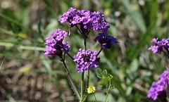 Moss Verbena (zeesstof) Tags: zeesstof thewoodlands sterlingridge springtime suburban texas containmentpond nature naturewalk closetohome