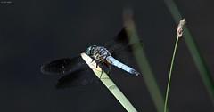 Blue Boy (zeesstof) Tags: zeesstof thewoodlands sterlingridge springtime suburban geo:lat=3018673894 geo:lon=9553744658 geotagged texas dragonfly dasher bluedasher male pachydiplaxlongipennis containmentpond nature naturewalk closetohome