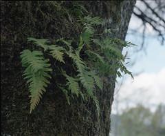 Fern tree (Kent C.) Tags: mamiyarb67pros film filmphotography kodakportra400 mediumformat 6x7 120film
