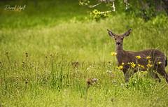 Spring Shot (Darrell Wyatt) Tags: deer spring weeds flowers wildflowers buck columbiarivergorge gorge