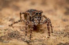Jumping Spider (F.Hendre) Tags: jumpingspider hypositticuspubescens spider arachnid macro