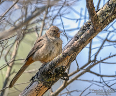 California Towhee ruffling its feathers - Explore (Patrick Dirlam) Tags: trips northcounty birds landbirds california towhee explore explored
