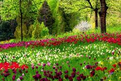 Secret Garden (sylviafurrer) Tags: garten garden flower blumen tulpen tulip grün green baum tree frühling spring red rot blüte blossom