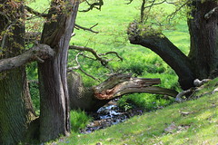 Wood Scupture (jdathebowler Thanks for 4 Million + views.) Tags: landscape oldtrees fallentrees countryside countryview countryscene stream northyorkshire nearharrogate