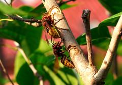 szerszenie na bzie wycinające korę (stempel*) Tags: polska poland polen polonia gambezia pentax k30 hornets owad insect macro szerszeń szerszenie sadebudy