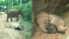 Baby elephant rescued from a deep pit. Mother stalks and chase after onlookers (THE WILD ELEPHANT) Tags: huge elephant rescue video youtube quite baby funny kids videos the wild wildlife news tv
