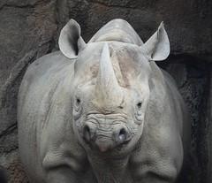 7436ex  the staring contest  **Explore** (jjjj56cp) Tags: rhino rhinoceros whiterhino whiterhinoceros ungulate fullface staring closeup details widemouth twohorns cincinnati oh ohio cincinnatiohio cincinnatizoo czbg folds texture wrinkles p1000 coolpixp1000 nikoncoolpixp1000 jennypansing explore explored