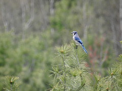 Blue Jay (RonG58) Tags: bluejay augusta mainegeneralhospitaltrails cyanocittacristata bird birds loiseau elpájaro tori dervogel birding birdwalk fauna flora habitat migration natureexploration wildlife breedingplumage passerines maine rong58 new usa images spring pictures photooftheday day image color photography photo photos us light trip nikon picture digitalcamera picoftheday photograph live geotagged nature naturephotography travel exploration