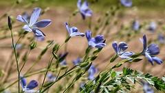 Comme une petite vague bleue ... Merci le vent ! (jmollien) Tags: fleurs flowers flore fleursdeschamps bleu blue délicat fragile beautiful macro macrophotographie var provence nature beauté simplicité