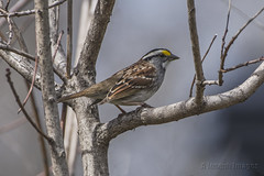 White-throated Sparrow (A.Joseph Images) Tags: whitethroatedsparrow sparrow songbird bird oiseux outdoor nature nikkor200500mmedf56vr nikon wildlife tree brown yellow white montreal quebec canada