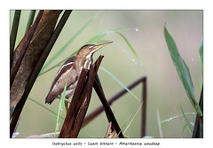 Least bittern (Jan H. Boer, Nature photographer) Tags: ixobrychusexilis leastbittern amerikaansewoudaap birds waterbirds shybirds nature wildlife wetlands costarica loschiles nikon d500 afsnikkor200500f56eedvr jan´sphotostream2019
