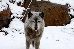 Animals (US Department of State) Tags: graywolf winter animals nature environment snow smithsonian nationalzoo washingtondc ustouristattractions