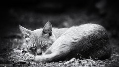 sleeping beauty! (George Spanoudakiss) Tags: fujifilm fuji fujixt2 fujix fujilove fujixpassion fujixseries fujiholic fujicamera fujiphotos fujimadness fujinon fujilover fujifilmhellas fujishooters xt2 athens greece greek cat cats animal sleep blackandwhite acros furry pet