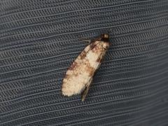 Lepidoscia sp. (dhobern) Tags: 2019 april australia lamingtonnationalpark lepidoptera queensland psychidae lepidoscia