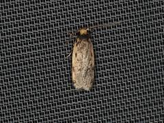 Hoplostega ochroma (dhobern) Tags: 2019 april australia lamingtonnationalpark lepidoptera queensland oecophoridae oecophorinae hoplostegaochroma