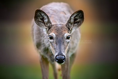 Pregnant Doe (Wild.Woods.Photography) Tags: winter summer coat pregnant deer wildlife whitetail portrait animal animalportrait whitetaildeer doe teamcanon canon mammal naturephotography natur cute outside countryside eos pet wild