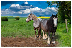 Admirez ma crinière ! (Pascale_seg) Tags: paysage printemps campagne country countryscape countryside cheval chevaux horses cavalli spring primavera field nuages clouds moselle lorraine grandest france nikon nature natura earth vert green verde
