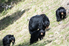 The gangs all here (ChicagoBob46) Tags: blackbear bear cub cubs yellowstone yellowstonenationalpark nature wildlife naturethroughthelens coth5 ngc npc