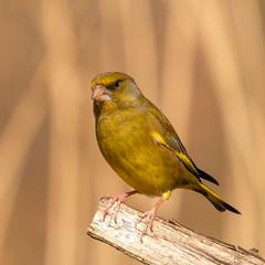 Greenfinch, RSPB Titchwell, Suffolk, UKuntitled.jpg (Nick Bowman1) Tags: rspblakenheath uk ilce9 sonyfe100400 sony14xtc suffolk greenfinch